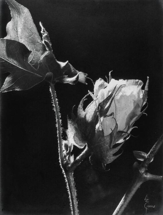 Anatole Saderman. Gossypium hirsutum algodonero, 1935.
