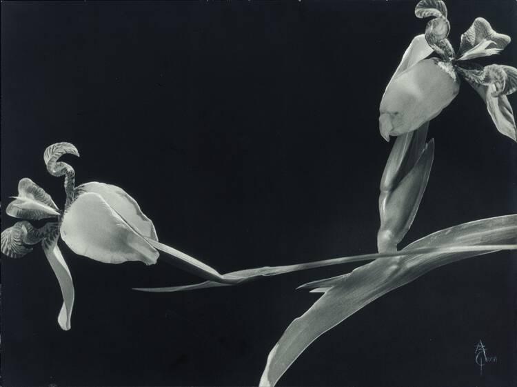 Anatole Saderman. Orquídeas, ca. 1934.